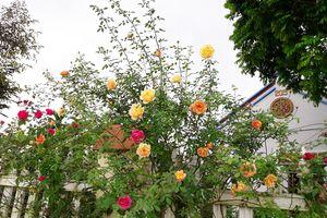 'Phát hờn' với vườn hoa hồng ngàn gốc của cô giáo mầm non tại Hà Nội