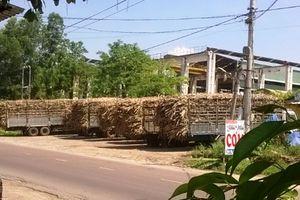 Chưa được phép hoạt động, công ty Đường Bình Định đã thu mua mía