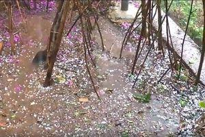 Mưa đá gây thiệt hại nhiều hoa màu của người dân Đà Lạt