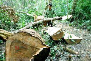 Vụ phá gần 20ha rừng ở Đắk Lắk: Bảo vệ rừng không hề hay biết