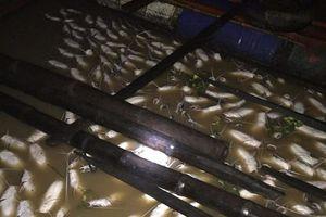Hàng trăm tấn cá chết trắng trên sông La Ngà