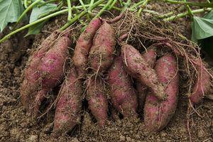 Mẹo trồng khoai lang cho củ nhiều, ăn không bị sượng