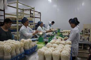 Mô hình sản xuất nấm công nghệ cao thách thức mọi thời tiết