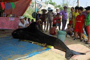Nhiều cá Ông dạt vào bờ biển Quảng Ngãi