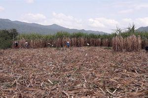 Nhà máy đường An Khê đảm bảo tiêu thụ hết mía của nông dân