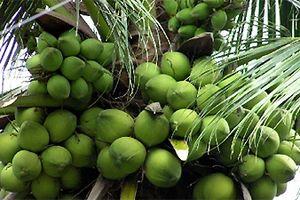 Công bố chỉ dẫn địa lý cho Dừa xiêm xanh và Bưởi da xanh của Bến Tre
