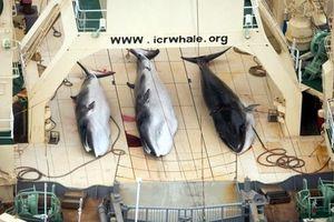 122 con cá voi đang mang thai bị giết