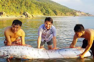 Cá mái chèo dài 3m bơi vào bờ biển Hà Tĩnh