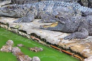 Về 'thủ phủ' cá sấu xuất ngoại lớn nhất ở Đồng Nai