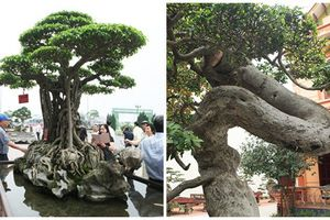 Choáng ngợp loạt cây cảnh tiền tỷ của đại gia Phú Thọ