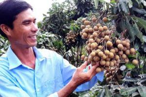 'Bậc thầy' trồng nhãn IDO và bí mật 'Phục làm liều' xứ Cù Lao Dung