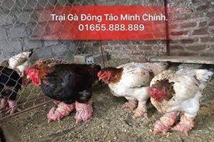 Lưu Minh Chính: Chàng trai trẻ làm giàu từ trại gà Đông tảo