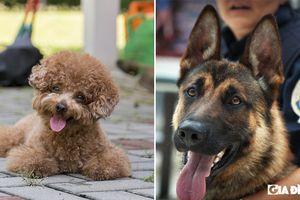 10 giống chó được xếp hạng thông minh nhất thế giới