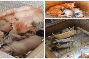 Dân mạng xúc động trước cảnh mèo mẹ mất con tranh thủ lúc chó mẹ đi chơi vào liếm láp bầy chó con