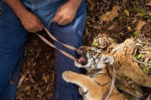 Hổ nuôi ở Mỹ gần gấp đôi số hổ hoang dã trên toàn thế giới