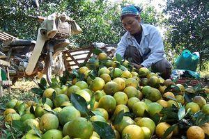 Bùng nổ sản xuất cây ăn quả có múi: Mừng hay lo?