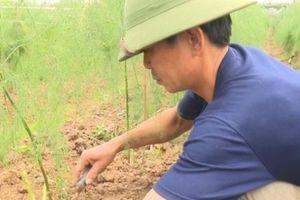 Phú Thọ: Trồng 2 sào 'rau Hoàng Đế' thu về tiền triệu mỗi ngày