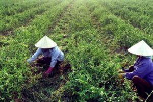 Ninh Bình: Bỏ lúa trồng cây dại mà lại có tiền