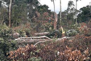 Nóng bỏng cuộc chiến giữ rừng Tây Nguyên (Kỳ 1: Nhận quản lý, bảo vệ rừng để... phá rừng!)