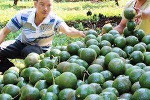 Sở NNPTNT Đắk Nông: Cây bơ sẽ không đi vào 'vết xe đổ' của hồ tiêu