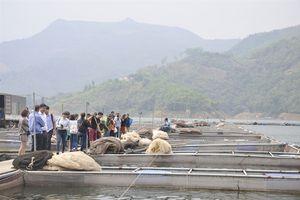 Thúc đẩy nuôi cá lồng trên hồ Hòa Bình