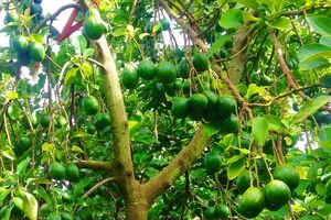 Đắk Nông: Độc đáo lễ hội 'Mùa Bơ chín'