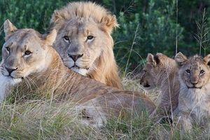 Bản tin 20H: Đi săn trộm bất ngờ bị bầy sư tử cắn xé đến chết