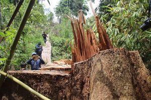 Vụ phá rừng lim quý ở Quảng Nam: Truy nã 2 đối tượng chủ mưu