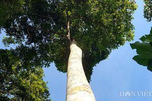 Cây trám núi rừng Việt Nam, đại gia Trung Quốc bao trọn 10 năm ăn quả