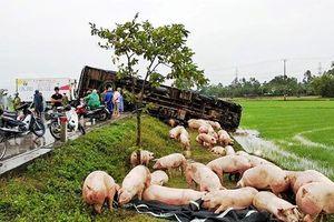Xe tải gặp nạn, cả đàn lợn chạy tán loạn trên quốc lộ
