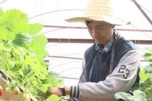 Bỏ việc nhà nước, 9X Đà Lạt về trồng vườn dâu chưa ai chê xấu