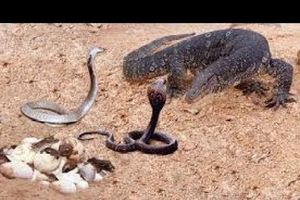 Clip: Đại chiến rắn hổ mang đối đầu kỳ đà