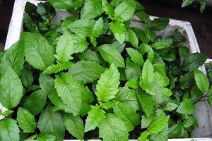 Cách trồng cây rau bầu đất ăn cực ngon, chữa bệnh hiệu quả