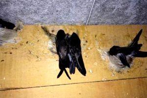 Bạc Liêu: Đề nghị cho 14 cán bộ đi Malaysia học… nuôi chim yến