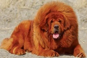 Vài điều cần biết về chó Ngao Tây Tạng