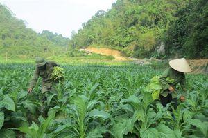 Sử dụng phân NPK-S Lâm Thao 8-10-14+8S cho cây thuốc lá