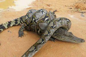 Rơi vào 'cửa tử', cá sấu vẫn may mắn thoát chết