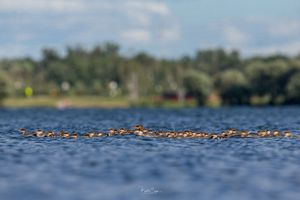 Bức ảnh vịt mẹ dẫn theo đến… 76 vịt con hớp hồn người yêu thiên nhiên