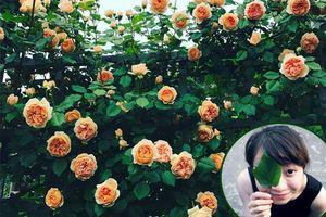Ngất ngây với vườn hồng 2000 gốc khoe sắc rực rỡ của nữ phóng viên ở Hưng Yên