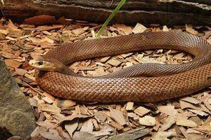 Những loại rắn cực độc ở Việt Nam, cách sơ cứu khi bị rắn cắn