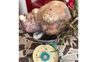 Một nông dân bất ngờ đào được củ khoai lang nặng 8,5 kg