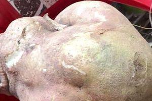 Nông dân phát hiện củ khoai lang 'khủng' nặng gần 9kg