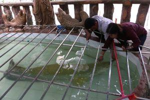 Chuyện ly kỳ về cá hải tượng nặng hơn 130kg ở Tiền Giang