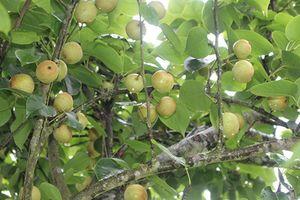 Vùng đất mà ở đây cây lê thấp tè đã ra trĩu quả
