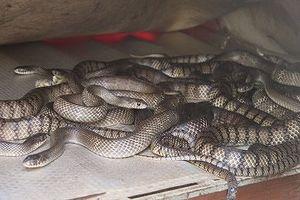 Vào lãnh địa của hàng ngàn con rắn
