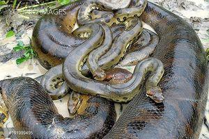 Kinh ngạc cảnh rắn khổng lồ đẻ liền một lúc 57 con