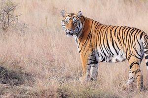 Video thế giới động vật: Hổ hạ gục trâu rừng to lớn trong phút chốc