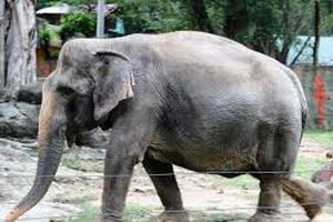 Tranh cãi quy định nuôi voi có thể bị khởi tố