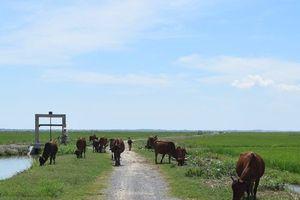 Vụ đóng phí đồng cỏ cho trâu bò: Bán cả ruộng lúa tái sinh của dân?