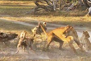 Kết cục bất ngờ sau màn quyết chiến với chó hoang của sư tử mẹ